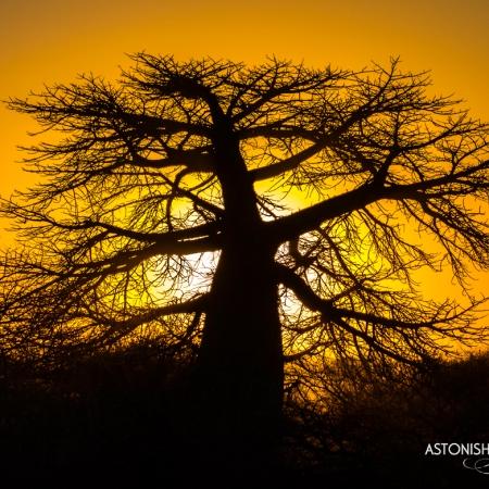 kubu island baobab tree kalahari botswana