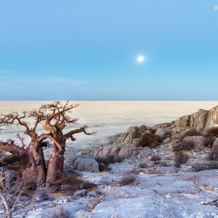 kubu island baobab tree kalahari botswana salt pan