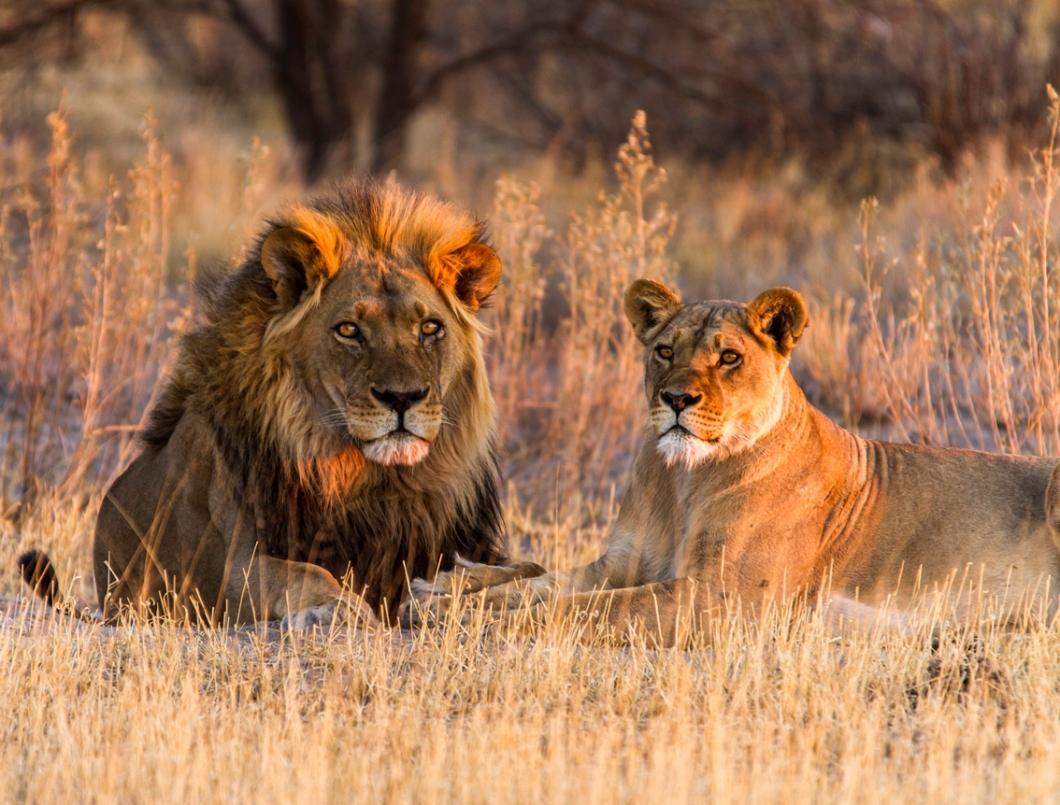 Central Kalahari Lions