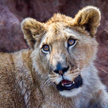 lion cub africa image